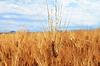 Golden Ears On Summer Field Before Harvest | Stock Foto
