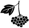Векторный клипарт: Ягоды калины