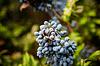 Niebieski winogron kiść i obrączki | Stock Foto