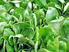 Feldsalat Blätter | Stock Foto