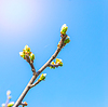 Tree branch with buds in sun beams | Stock Foto