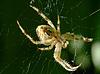 Araneus diadematus Spinne auf grünem genommen | Stock Foto