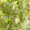 Dojrzałe zielone szyszki chmielowe branch.Beer produkcji | Stock Foto