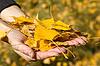 Arm voll gelben Blätter im Herbst   Stock Foto
