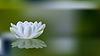 Romantische Sommer Hintergrund mit weißen Lilien