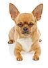 Чихуахуа собака   Фото