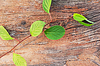 ID 4521514 | Zweig Schisandra chinensis Fernost auf alten | Foto mit hoher Auflösung | CLIPARTO