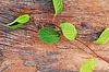 ID 4521617 | Gałązka z Dalekiego Wschodu Schisandra chinensis na stare | Foto stockowe wysokiej rozdzielczości | KLIPARTO