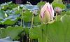 Lotus flower. | Stock Foto