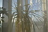 Dracena veiled with curtain | Stock Foto