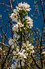 Apfelbaum Blume nach regen | Stock Foto