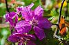 Apple-Blume Rosa Farbe | Stock Foto