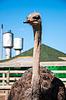 Afrikanischer Strauß | Stock Foto
