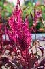 Amaranth ist eines der Gattung Amaranthaceae | Stock Foto