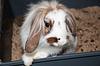 Angora Kaninchen mit Schlappohren | Stock Foto