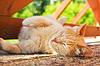 Durmiendo gato rojo | Foto de stock