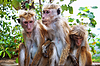 Monkey family at Sigiriya, Sri Lanka | 免版税照片
