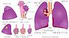 Векторный клипарт: Структура легких человека