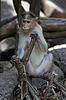 Foto 300 DPI: Porträt der jungen Macaque eng Tracking bestellen