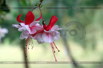 Pinkfarbener Blumen in Rot und Weiß | Foto mit hoher Auflösung |ID 4503852