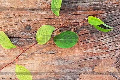 Zweig Schisandra chinensis Fernost auf alten | Foto mit hoher Auflösung |ID 4521514