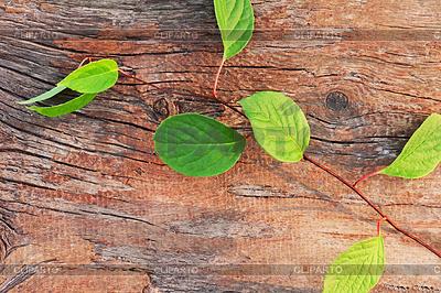 Gałązka z Dalekiego Wschodu Schisandra chinensis na stare | Foto stockowe wysokiej rozdzielczości |ID 4521617